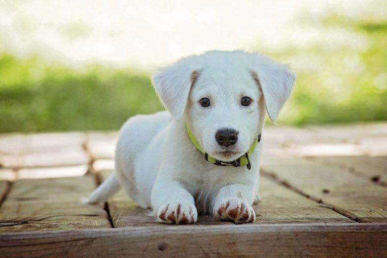 puppy-1903313_1920
